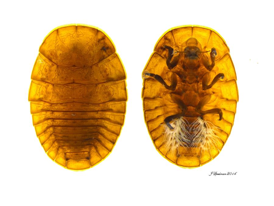 Psephenidae